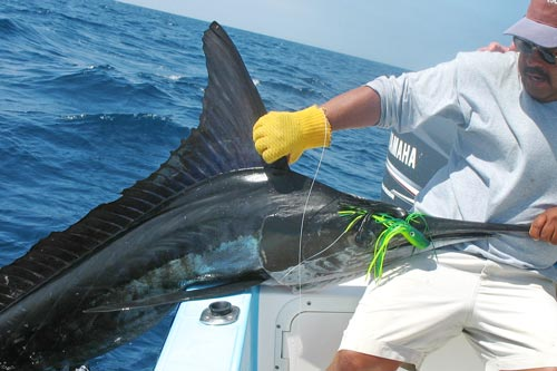 striped marlin150